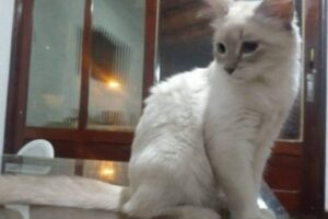 Inédito: Gato a contrai Covid-19 no Brasil; veja